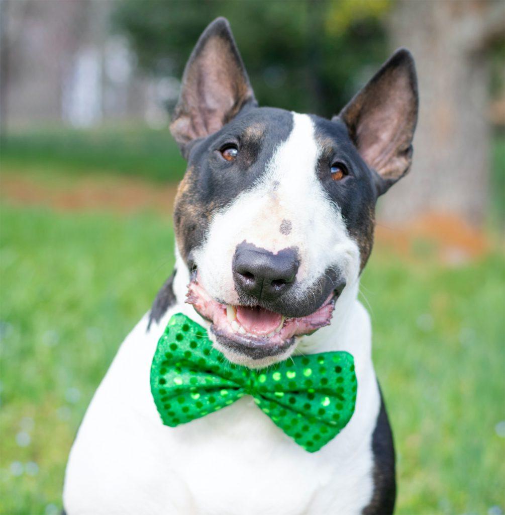 Puppy in green bowtie.